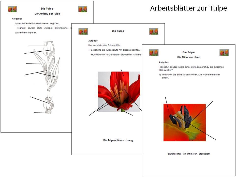 unterrichtsmaterial bungsbl tter f r die grundschule sachunterricht die tulpe online. Black Bedroom Furniture Sets. Home Design Ideas